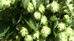 Raw hops for beer Stock Footage