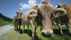 Cows closeup Stock Footage