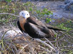 Frigatebird Galápagos Islands Stock Photos