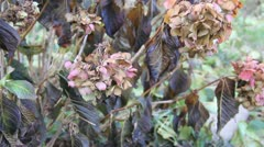 Withered plant flowers after frozen night - stock footage