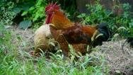 Grass farm chicken cock. Stock Footage