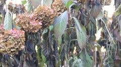 Light swing dead plants bodys Stock Footage