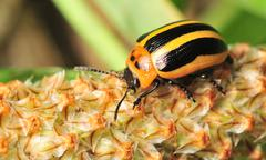 Cucumber Beetle 02 Stock Photos