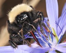 Bumblebee Portrait 02 - stock photo