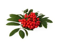rowanberries with leaves - stock photo