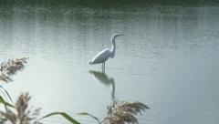 Heron at lake Stock Footage