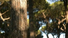 Pine tree trunk Stock Footage