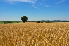 Wheat field, tree and blue sky Stock Photos