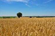 Wheat field, tree and blue sky Stock Photos