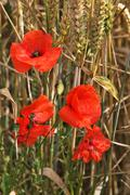 Red poppy in field Stock Photos