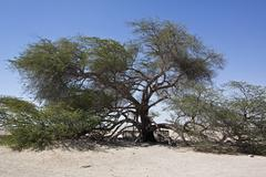 Tree of life bahrain Stock Photos