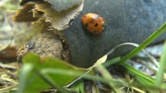 Beautiful Lady bug - stock footage