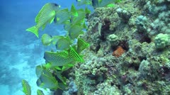 Colorful Fish on Coral Reef, Red sea Stock Footage