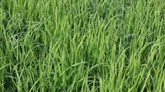 Rice field under wind Stock Footage