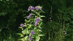 Campanula trachelium, Nettle-leaved Bellflower blue wildflower 01i  tot Stock Footage