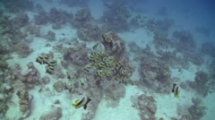 Bannerfish on Coral Reef, Red sea - stock footage