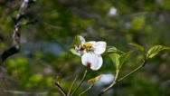 Dogwood tree 3 Stock Footage