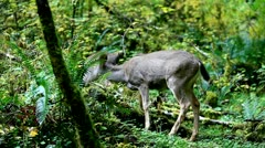 Deer in the forest - stock footage