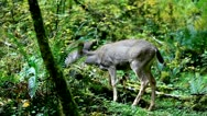 Stock Video Footage of Deer in the forest