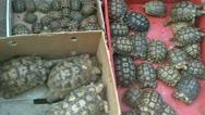 Stock Video Footage of blackmarket turtles animal trade