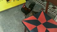 Stock Video Footage of cock rooster 3rd world