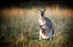 kangaroo and joey - stock photo