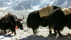 Yak in Himalaya Stock Footage
