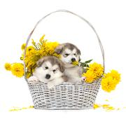 Alaskan malamute puppies in a flower basket Stock Photos