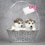 Alaskan malamute puppies in a basket Stock Photos