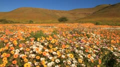 Field of flowers,Biedouw Valley,South Africa - stock footage