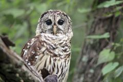 Barred Owl - stock photo
