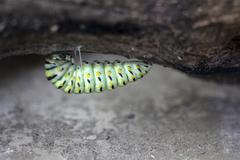 Swallowtail Caterpillar Close Up - stock photo