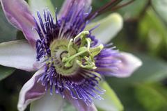 Passionflower - stock photo