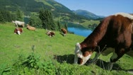 Cow Grazing Stock Footage