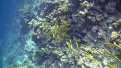 Shoal of Yellow Fish on Coral Reef, Red sea - stock footage