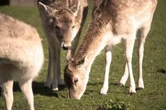 Deer Grazing - stock photo
