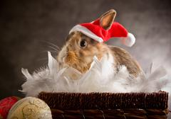 Dwarf rabbit wearing a santa claus costume Stock Photos