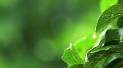 Rain drops on green leaves Stock Footage