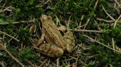 Agile frog  Rana dalmatina Stock Footage