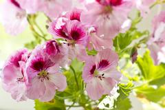 pink pelargonia flowers and green leaves macro - stock photo
