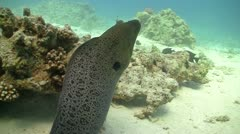 Murena on Coral Reef, Red sea Stock Footage
