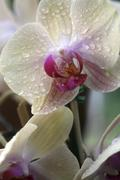 Orchid Water Drops - stock photo