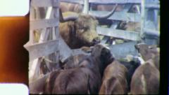 Cattle Cows in Livestock Pen Longhorn 1950s Vintage Retro Film Home Movie 3959 Stock Footage