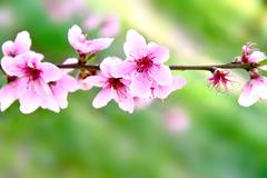 Pink flowers blossoming tree branch - stock photo
