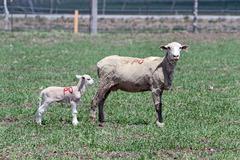 Ewe sheep and young lamb in pasture 0601.jpg Stock Photos