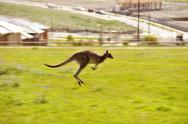 Stock Photo of Australian outback kangaroo series