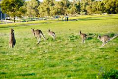 Stock Photo of Australian outback kangaroo series