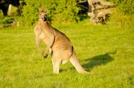 Stock Photo of kangaroo