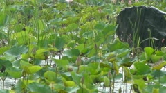 Drizzling over a lotus pond - stock footage