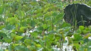 Stock Video Footage of Drizzling over a lotus pond